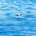 Während wir Wale suchten, begleiten uns Seevögel